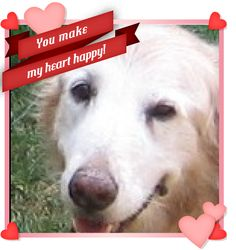 That Golden smile. #Valentine #Dog