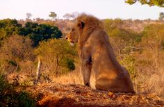 The Kruger National Park is the perfect destination to view the Big Five as well as the multitude of animals and birds Africa has to offer. Lions Photos, Male Lion, Kruger National Park, Pet Birds, Safari, Photographs, Africa, Around The Worlds, Australia