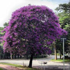 Quaresmeira: árvore semi-decídua que pode alcançar até 12 m de altura. Sua floração acontece no outono e primavera. É uma planta tropical e subtropical, tolera frio moderado e não necessita de manutenção. É muito utilizada em calçadas e com podas pode ser arbustiva.