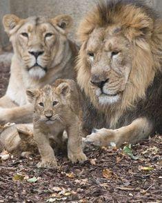 Beautiful Lion, Animals Beautiful, Big Cats, Cute Cats, Lion Family, Family Family, Lion Couple, Baby Animals, Tigers