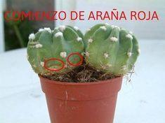 La página más grande de Cactus y Crasas en el mundo: CUIDADOS DE LOS CACTUS Cómo curar los cactus e identificar plagas fácilmente !!!!! Clickeá !