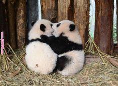 """Twin panda cubs (born on aug lu lu & """"xi Cute Funny Animals, Cute Baby Animals, Animals And Pets, Baby Panda Bears, Bear Cubs, Baby Pandas, Grizzly Bears, Love Bear, Cute Panda"""