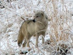 Yellowstone NP Wolf in winter