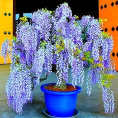 Bolusanthus South African Wisteria Tree 10 seeds warm zones 9 to 10 fragrant blooming tree drought tolerant street tree great bonsai Bonsai Seeds, Tree Seeds, Bonsai Plants, Potted Plants, Blooming Trees, Blooming Plants, Flowering Trees, Plantas Bonsai, Mini Bonsai