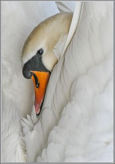 I LOVE this beautiful swan photo! Swan Love, Beautiful Swan, Beautiful Birds, Animals Beautiful, Cute Animals, All Birds, Little Birds, Cygnus Olor, Swan Pictures