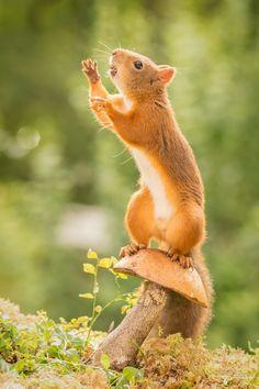 female red squirrel standing on mushroom