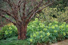 En Angleterre, le jardin de Savill joue sur le jaune vert, entre têtes florales acides des Helleborus argutifolius et paillettes lumineuses de l'Hamamelis x intermedia 'Pallida'.