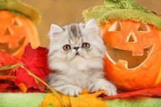 What are some great cat Halloween themed names? We came up with a list of favorites. Check out the most popular cat Halloween names. Halloween Names For Cats, Halloween Ideas, Cat Reference, Cat Sketch, Super Cat, Cat Sleeping, Funny Cat Memes, Cat Drawing, Beautiful Cats