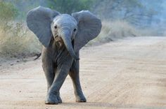 Baby animals add a cuteness factor to any African safari, but each species is also superbly adapted to survive infancy in the bush. Elephant Photography, Animal Photography, Safari Animals, Cute Baby Animals, African Forest Elephant, Baby Elefant, Young Animal, Cat Mouse, English Bull Terriers