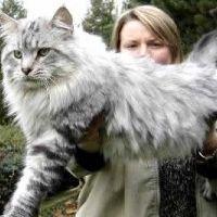 Gato Gigante? Conheça o Maine Coon