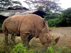 Ujung Kulon National Park Single horned Rhinoceros.Indonesia.
