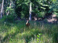 A deer in Pipestem Resort State Park, Pipestem, WV