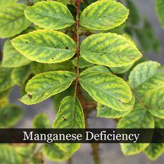 Manganese Deficiency.jpg (500×500)