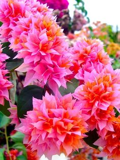 These are so beautiful!  LOVE them!  Don't even know what kind of flower this is but love the pink and orange together!