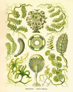 A Vintage Ernst Haeckel Fantasy Sea Life Art Print.This gorgeous illustration is from a series of hand colored lithographs. It comes from the Belgium book published in the 1800's. This print is digitally enhanced with some odd blemishes left to enhance its antique look.