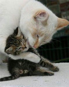 gentle hug: mama cat and her kitten