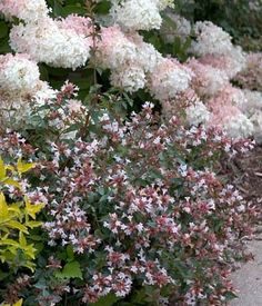 """Ruby Anniversary ™ Abelia - Fragrant and Hardy - Proven Winners - 4"""" Pot"""