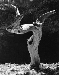 Edward Weston, Monterey Cypress, 1930-During his long career, Weston made black-and-white wonders out of landscapes, of course, but also clouds and seashells. He created mythical tableaux, shot travelogues of Mexico, experimented with nudes and made scores of portraits, some of them from famous faces of the 20th century.