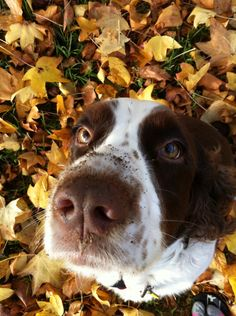 Tropi, my English Springer Spaniel, getting into trouble... Silly dog!