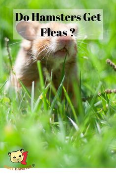 Hamsters, like any pets, are in danger of parasites like fleas and mites. But can hamsters really get fleas ? Dwarf Hamster Toys, Hamster Care, Hamsters, Waterproof Watch, Fleas, Nature, House, Animals, Naturaleza