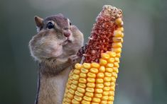 Chipmunk Eating Corn | Animals | Know Your Meme