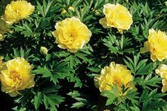 (Paeonia) Famously fragrant, these nearly foolproof stunners boast a life-span of 50 years or more. Peonies typically bloom in late spring or early summer.