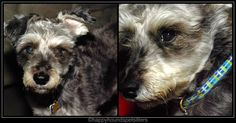 Happy Hounds Pet Sitting and Dog Walking in Burleson TX - Google+ #Schnauzer