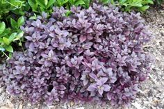 Alternanthera dentata 'Little Ruby' Garden Plants, House Plants, Little Ruby, Alpine Plants, Plant Species, Tropical Plants, Evergreen, Garden Design, Nursery