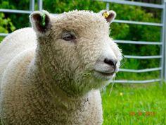 Image result for ryeland sheep