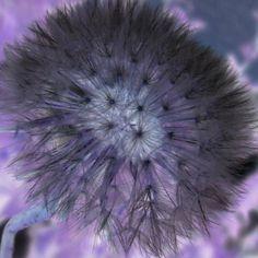 Foto:@johanahajkova14 Dandelion, Flowers, Plants, Pictures, Dandelions, Plant, Taraxacum Officinale, Royal Icing Flowers, Flower