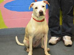 TO BE DESTROYED - 03/14/15 Brooklyn Center -P~~ SENIOR ALERT!!~~  My name is NINA. My Animal ID # is A0711290. I am a spayed female cream and white pit bull. The shelter thinks I am about 9 YEARS old.  I came in the shelter as a OWNER SUR on 03/09/2015 from NY 11418, owner surrender reason stated was LLORDPRIVA.