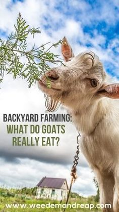 What do goats really eat? This is my favorite backyard…