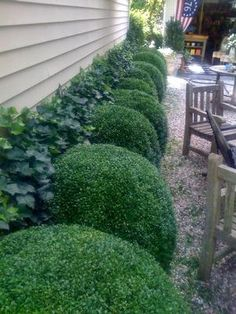 Begin your garden/landscape with boxwoods