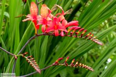 """Crocosmia """"Lucifer"""" Crocosmia, montbretia This easy to grow member of the iris family is native to South Africa. Just give it plenty of sun and average moisture (perennial zones It's a hummingbird magnet. Water Garden, Garden Plants, South African Flowers, African Plants, Hummingbird Plants, Jungle Gardens, Bloom Where Youre Planted, Crocosmia, Language Of Flowers"""