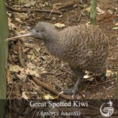 National bird control company providing humane and effective solutions to protect our nation's architectural and historic treasures from pest bird problems Kiwi Bird, Nests, Bird Species, Animals And Pets, Owl, Wings, Colour, Beautiful, Maori