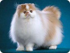 #BaiduImage poses de gatos persas_Pesquisa do Baidu