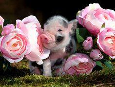 Amazing Animals, Animals Beautiful, Little Doll, Little Pigs, Cute Baby Animals, Funny Animals, Farm Animals, Miniature Pigs, Teacup Pigs