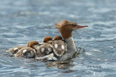 Oops!  Almost sinking Mom with all the babies who came for a ride.