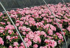 Thank you for taking a look at one of our several hundred Hybrid Rhododendrons we have for sale on Etsy and our website! At RhododendronsDirect.com, all we do is Rhododendrons!     Product Description    Bloom Color: Pink    Bloom Season:  Late Mid-Season    Plant Height(potential in 10 years): Three Feet    Hardy to:  -10    Rhododendron of the Year:  2009 North East      Container Size/Age:  Two Gallon Plant -  These rhododendrons are typically rooting into a two gallon container or have…