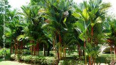 Palmeira laca vermelha- Cyrtostachys renda - http://www.jardineiro.net/plantas/palmeira-laca-cyrtostachys-renda.html