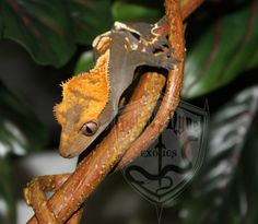 Crash - Male from Supreme Geckos