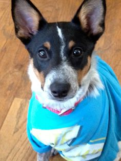 This dog looks just like Pimienta. Maybe it's one of her siblings! (Bailey. My Blue Healer/ Australian cattle dog.)