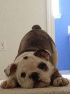 TOTALLY SHAMELESS! puppy pounce - it should be illegal to be THIS CUTE!!! ~ Dog Shaming shame - English Bull Dog