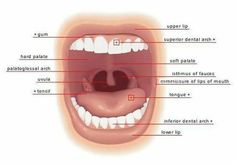 Mouth Parts Vocabulary