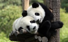 Obsessed with Pandas!
