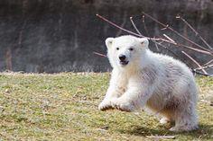 Meet Luna our baby polar bear born at the Buffalo Zoo