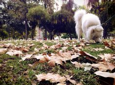 His first autumn <3 #Samoyed #Samoyedo #Dog