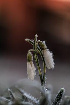 snowdrop - null