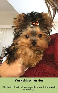 All About The Tenacious Yorkshire Terrier Dog Tiny Puppies, Cute Puppies, Cute Dogs, Yorky Terrier, Terrier Dogs, Yorkshire Terrier Haircut, Yorkshire Terrier Puppies, Teacup Yorkie, Yorkie Puppy