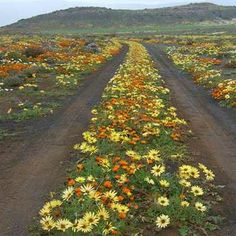 Namaqualand, up the west coast of South Africa Great Places, Places To See, Beautiful Places, South African Flowers, South Afrika, Africa Travel, Mellow Yellow, Wild Flowers, Desert Flowers